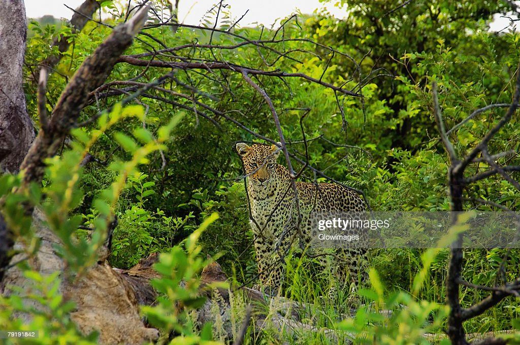 Female leopard (Panthera pardus) standing on a tree stump in a forest, Motswari Game Reserve, South Africa : Foto de stock