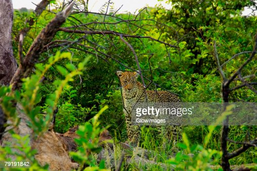 Female leopard (Panthera pardus) standing on a tree stump in a forest, Motswari Game Reserve, South Africa : Stock Photo
