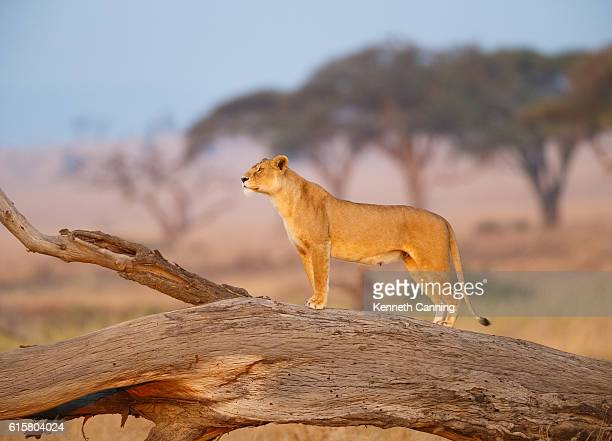 Female Lion in the Serengeti, Tanzania Africa