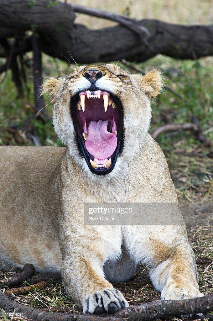 Female lion (Panthera leo), Masai Mara National Re : Stock Photo