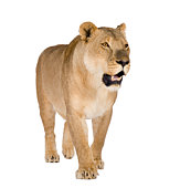 A  solitary picture of a lioness set against a white background.  The female has an open mouth, a black nose, golden brown eyes and small ears.  She is covered in golden fur with a white chest and has