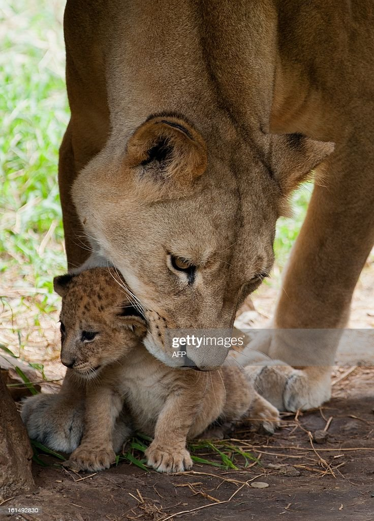 A female lion picks up one of three cubs she gave birth to in captivity twenty days ago, at the zoo in Cali, Valle del Cauca department, Colombia, on February 11, 2013.