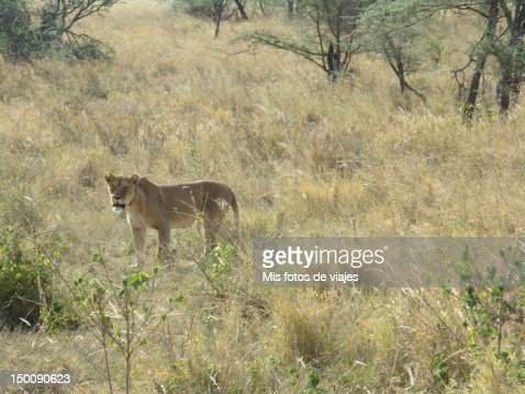 Female lion : Stock Photo