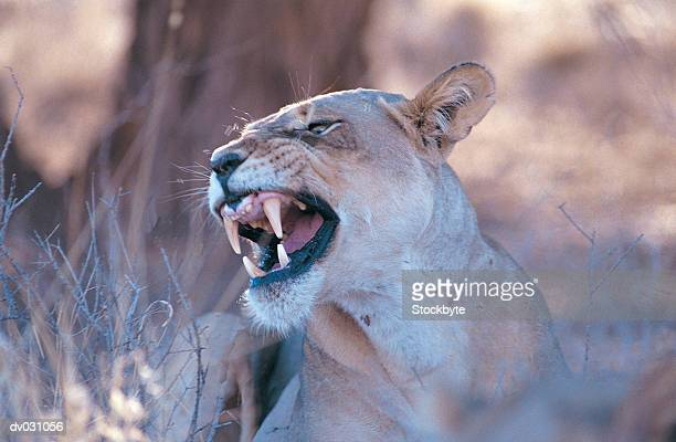 Female lion (Panthera Leo) snarling