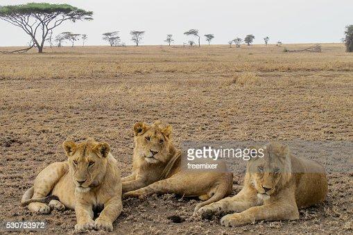 Female lions in African savanna
