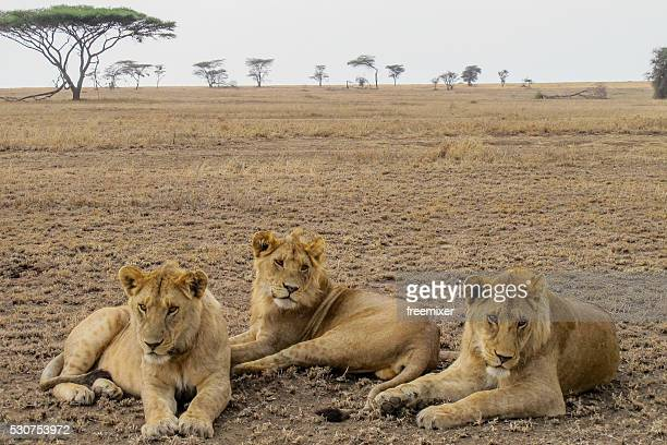 Female lions in African savanna