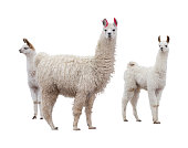 Three llamas on the side of white background