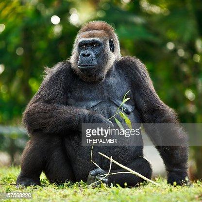 female lowland silver-back gorilla