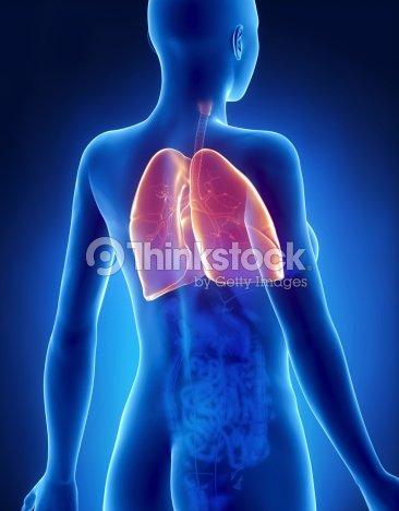 Hembra Pulmones Y Bronquios Anatomía Vista Posterior De Rayos X Foto ...