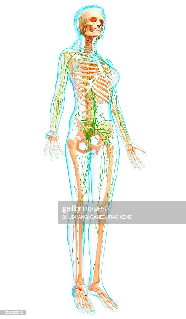 Female Lymphatic System Computer Artwork Stock Photo Getty Images