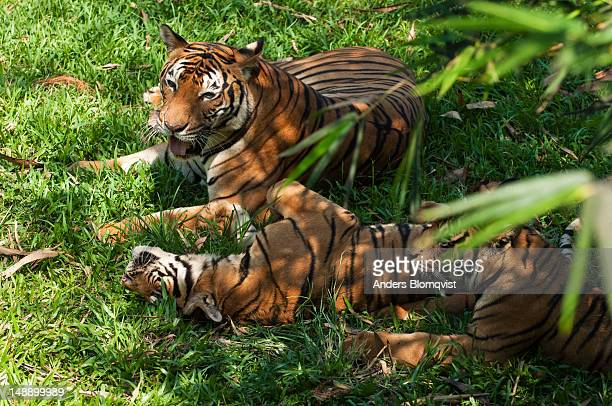 Female Malayan Tiger (Panra tigris malayensis) and cubs at Lok Kawi Wildlife Park.
