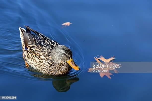 Female Mallard Duck Swimming on Blue Water