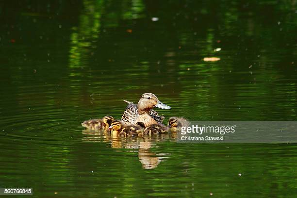 Female mallard duck with ducklings