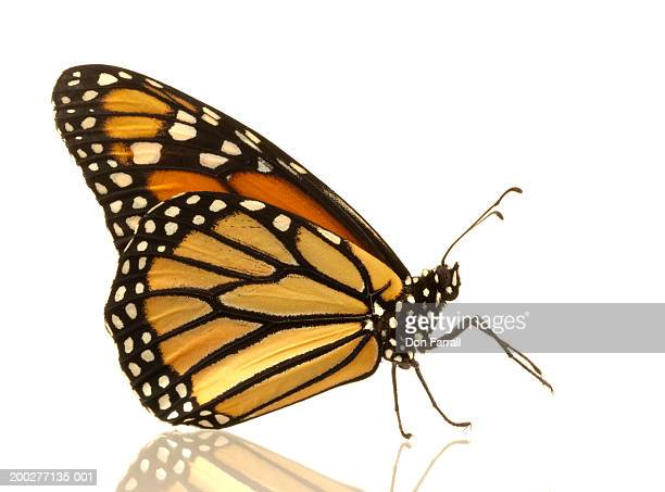 Female monarch butterfly (Danaus plexippus), side view