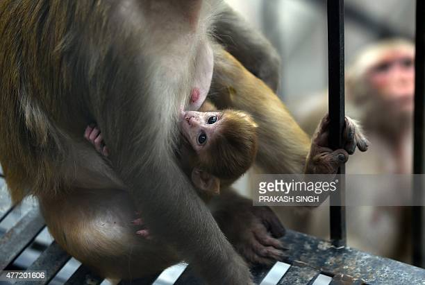 A female monkey breast feeds her baby on a stairs in New Delhi on June 15 2015 AFP PHOTO/PRAKASH SINGH
