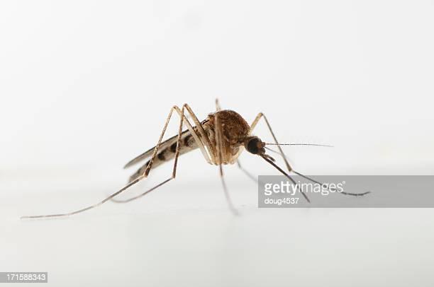 Weibliche-Mücke