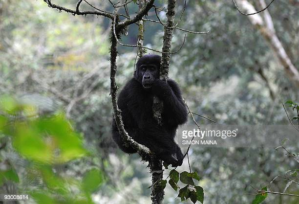 A female mountain gorilla sits in a tree in Bwindi Impenetrable forest on September 23 bordering Democratic Republic of Congo and Rwanda 561km south...