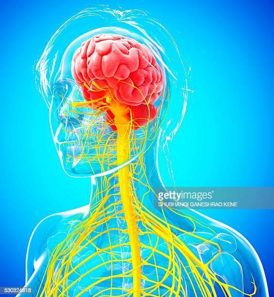 Cerebelo imagens e fotografias de stock getty images female nervous system computer artwork ccuart Images