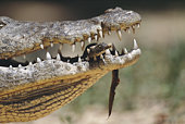 Female nile crocodile carrying newborn in jaws, close-up