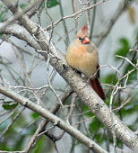 Female northern cardinal perched on tree branch