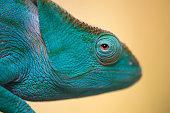 Female of Parsonii chameleon Portrait in Madagascar