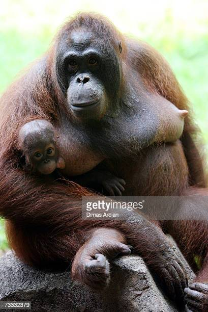 A female Orangutan and infant are seen at Ragunan Zoos 'Schmutzer Primate Center' on February 15 2007 in Jakarta Indonesia A new report from the UN...