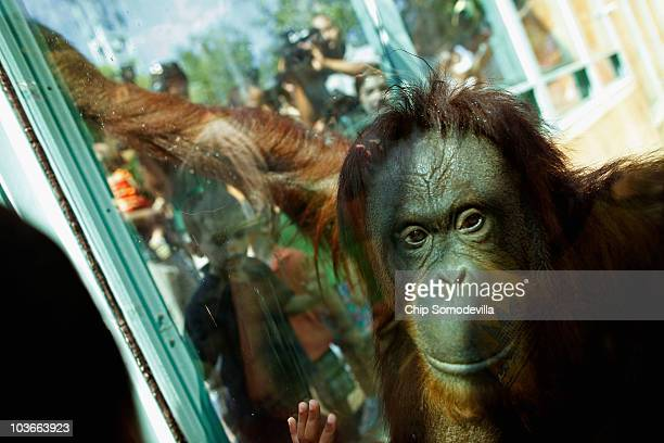 Female orangutan Bonnie 33 years old looks at visitors at the Think Tank exhibit in the Smithsonian National Zoological Park August 27 2010 in...