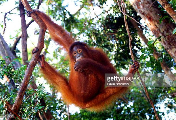 A female Orangutan hangs from a tree while eating fruit September 1 2001 near Camp Leakey at the Tanjung Puting National Park in Kalimantan Indonesia...