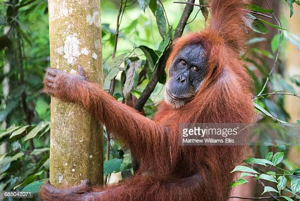 Female Orangutan (Pongo Abelii) in the jungle near Bukit Lawang, Gunung Leuser National Park, North Sumatra, Indonesia