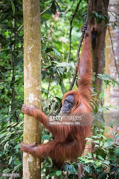 Female Orangutan (Pongo Abelii) in the rainforest near Bukit Lawang, Gunung Leuser National Park, North Sumatra, Indonesia