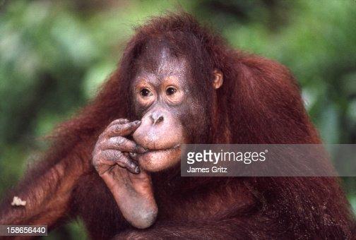 Female orangutan : Stock Photo