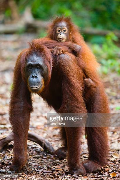 Female orangutan (Pongo pygmaeus) with infant