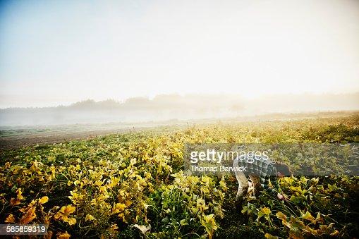 Female organic farmer harvesting organic squash