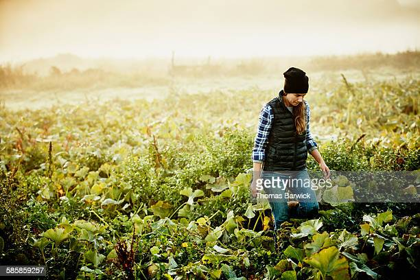 Female organic farmer harvesting squash