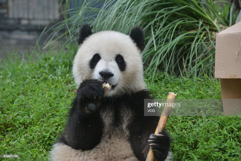 Female panda Qing Qing eats a bamboo during her two-year-old birthday celebration at the Dujiangyan base of the China Conservation and Research Center for Giant Pandas on August 18, 2017 in Chengdu, China.