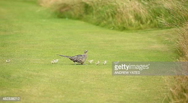 A female pheasant and her chicks cross the 7th fairway on day two of the 2014 British Open Golf Championship at Royal Liverpool Golf Course in...
