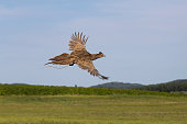 Female pheasant flying over the field