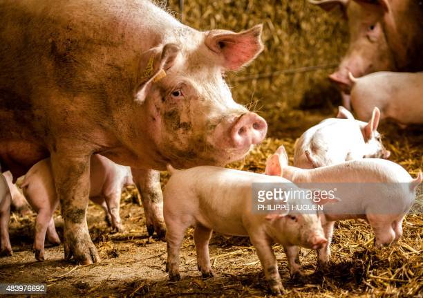 A female pig a sow and its piglets are pictured in a pig farm on August 14 2015 in Bourbourg northern France AFP PHOTO / PHILIPPE HUGUEN