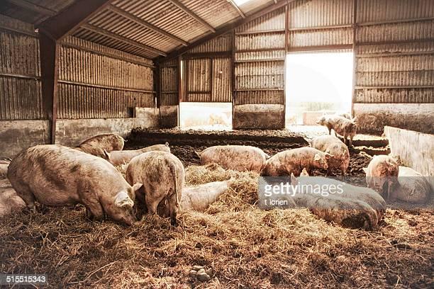 Hembra los cerdos en granja ecológica.