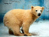 A female polar bear cub is seen at Tennoji Zoo on April 10 2015 in Osaka Japan The visitors can vote the name of a cub which was born on November 25...