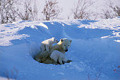 Female Polar Bear, Ursus maritimus, with two cubs, in March snow, Wapusk National Park, Manitoba, Canada