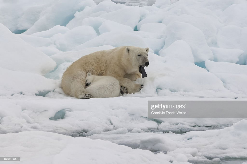 Female polar bear (Ursus maritimus) with cub : Stock Photo