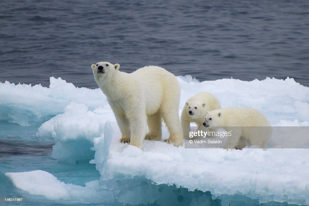 Female polar bear with cubs on iceberg : Stock Photo
