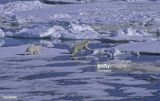 Female Polar Bear (Ursus Maritimus) with her cub walking on sea ice. North Spitsbergen, Svalbard