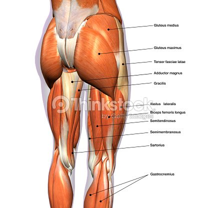 Female Posterior Leg Muscles Labeled On White Stock Photo Thinkstock