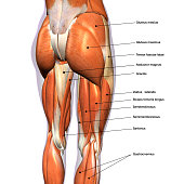 Rear view of woman's thigh and knee muscles with names