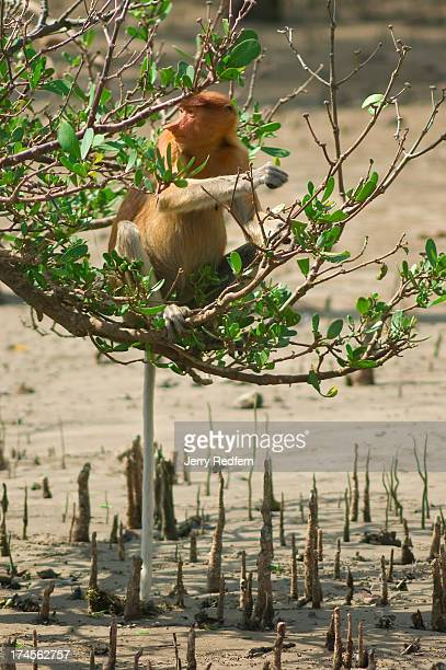 A female proboscis monkey sits in and eats the leaves of a mangrove tree in Bako National Park Approximately 275 monkeys live in the park one of the...