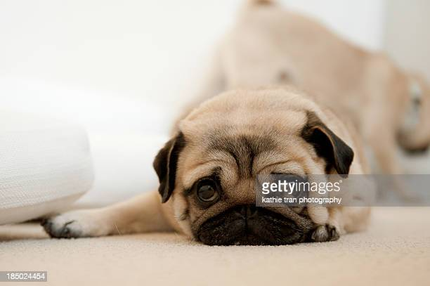 Female Pug looking sad with puppy eyes