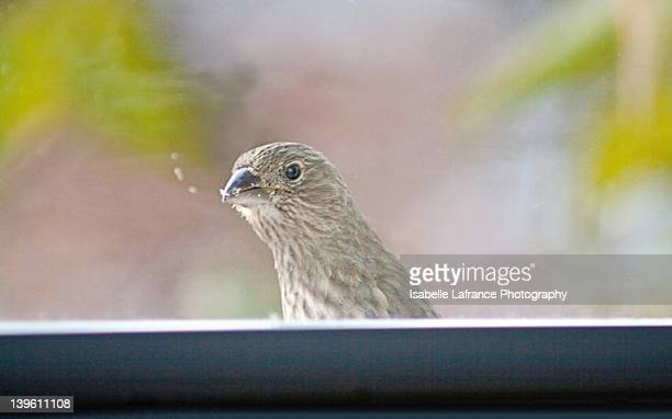 Female purple finch at window