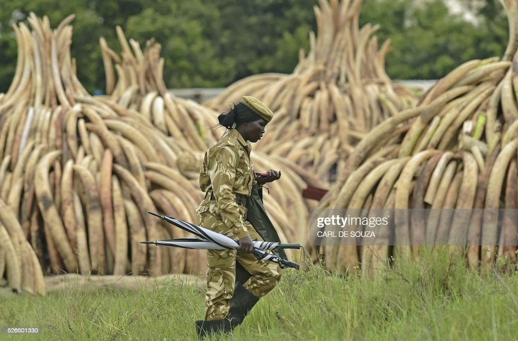 A female ranger walks next to stacks of Ivory elephant tusks at the Nairobi National Park on April 30, 2016. Kenyan President Uhuru Kenyatta set fire on April 30, 2016, to the world's biggest ivory bonfire, after demanding a total ban on trade in tusks and horns to end 'murderous' trafficking and prevent the extinction of elephants in the wild. / AFP / CARL